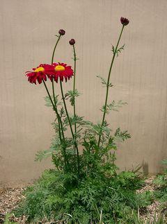 Tanacetum coccinuem : plante en fleur