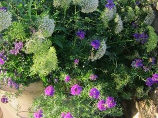 Trachelium caeruleum 'Umbrella White', Verbena 'Imagination'