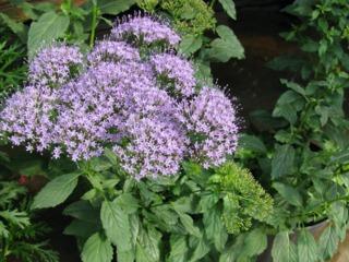 Trachelium : semis, culture, entretien