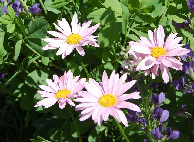 Chrysanthemum coccineum, pyrèthre rose : plantation, culture, entretien
