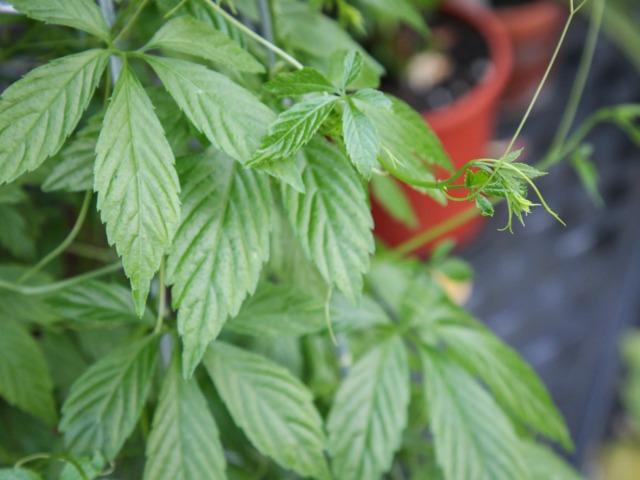 Jiaogulan, Gynostemma pentaphyllum : culture, utilisation médicinale