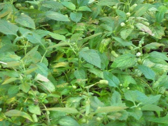 Verveine sucrante, Lippia dulcis : plantation, culture, entretien