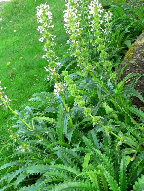 Morina longifolia : plantation, culture, entretien