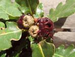 Les galles des plantes