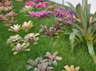 Aechmea : variétés à feuillages colorés