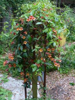 Bignone à vrille, Bignonia capreolata