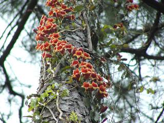 Bignonia capreolata à l'assaut d'un tronc