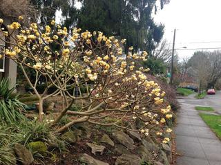 Edgeworthia en hiver
