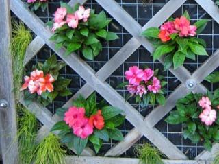 Isolepis cernua et impatiens en mur végétal