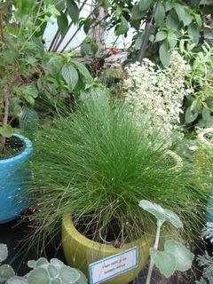 Isolepis cernua, herbe fibre optique, en pot