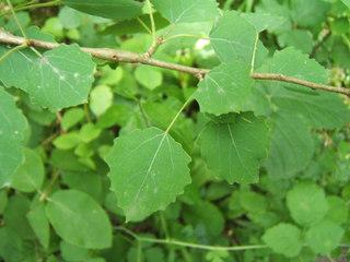Feuilles de tremble (Populus tremula)