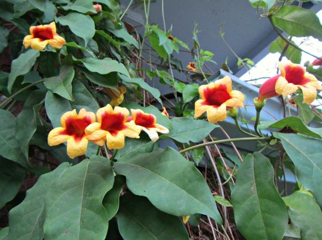 Bignonia capreolata : plantation, culture, entretien