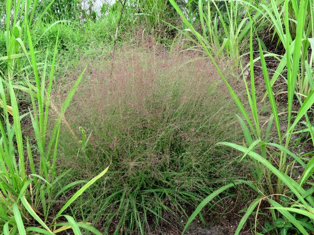 Eragrostis : plantation, culture, entretien