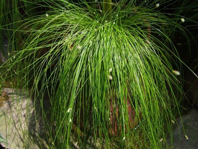 Isolepis cernua, herbe à fibres optiques