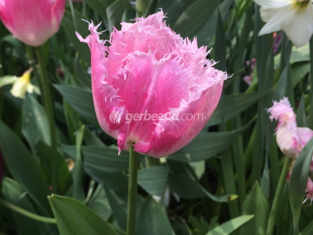 Tulipes : les différentes formes de fleurs