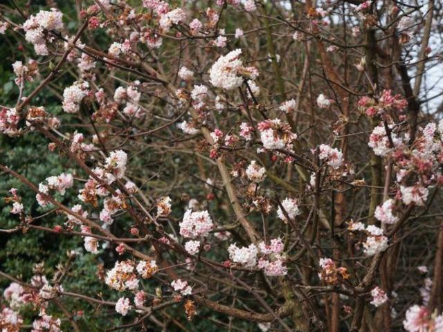 Les 11 plus beaux arbustes qui fleurissent en hiver