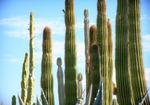 Les cactus cierges