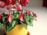 Plantes d'intérieur fleuries et faciles