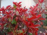 Comment faire rougir un photinia ?