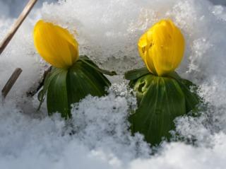 Aconit d'hiver sous la neige