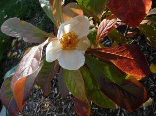 Arbre de Franklin : fleur et feuillage en octobre