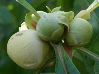Franklinia alatamaha : boutons floraux