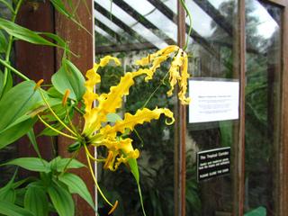 Gloriosa superba, variété jaune