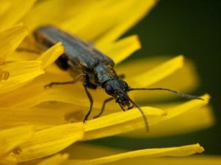 Attirer les insectes pollinisateurs : abris, fleurs mellifères...