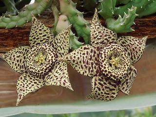 Orbea variegata, cactus étoile de mer