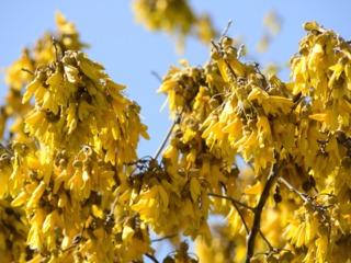 Sophora microphylla : fleurs
