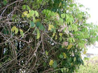 Stauntonia hexaphylla : une grimpante vigoureuse