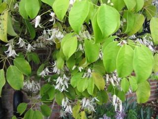Stauntonia hexaphylla : floraison