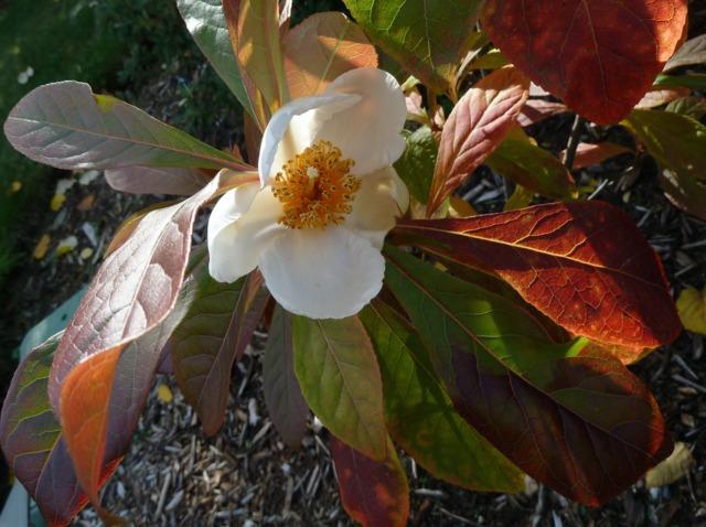 Arbre de Franklin, Franklinia alatamaha : plantation, culture, entretien