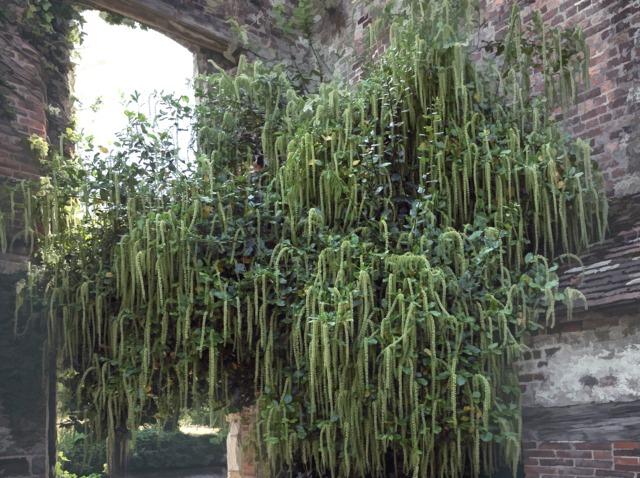 Itea ilicifolia : plantation, culture, entretien