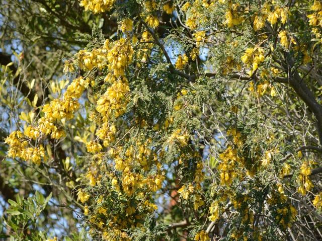 Sophora microphylla : plantation et conseils d'entretien