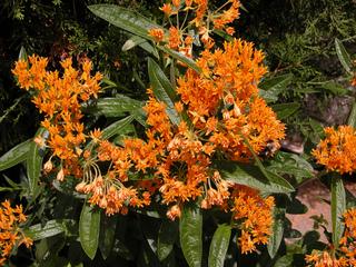 Asclépiade tubéreuse, Asclepias tuberosa : plantation, cuture, entretien