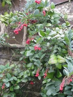 Berberidopsis corallina palissé contre un mur