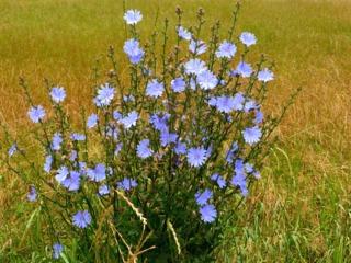 Fleur de Bach : chicorée sauvage