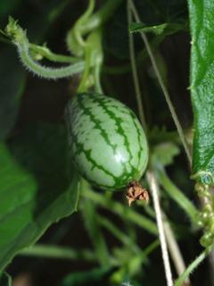 Melothria scabra, cucamelon