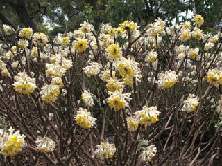 Edgeworthia, buisson papier : plantation, culture, entretien