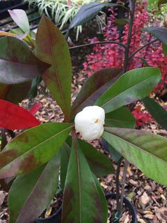 Gordlinia grandiflora : floraison
