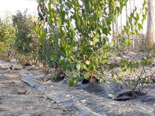 Haie d'arbustes plantés sur bâche