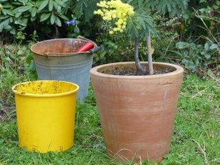 Mimosa rempoté dans un pot en terre cuite