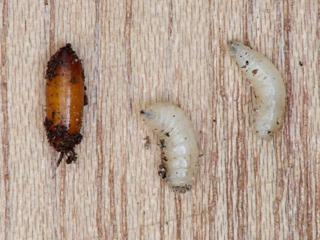 Mouche du chou : pupe et larves