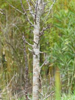 Pommier colonnaire (tronc)
