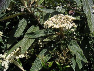 Viorne ridée, Viburnum rhytidophyllum : plantation, culture, entretien