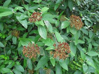 Viburnum rhytidophyllum, viorne ridée