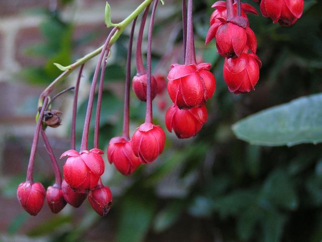 Berberidopsis corallina, plante corail : plantation, culture et entretien
