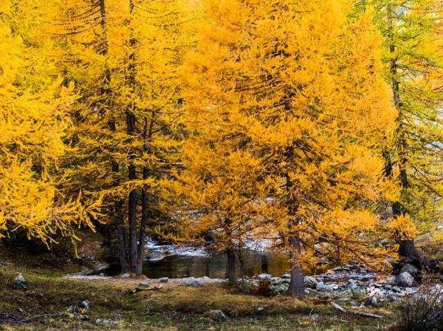 Mélèzes en automne, Larix decidua