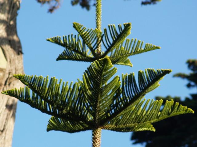 Araucaria heterophylla, pin de Norfolk